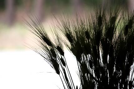 大麦 シルエット