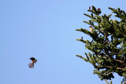モミの木に鳥の姿が・・・