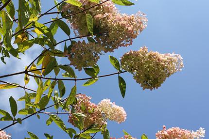 8月には真っ白だったミナヅキの花が薄紅色になってきました