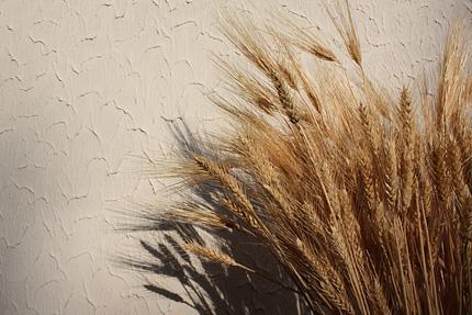 テラスの片隅の小麦と大麦