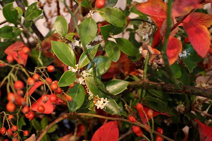 銀木犀の花は白く、金木犀のように強い芳香はありません