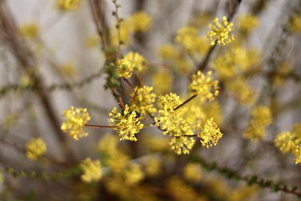 サンシュユ(山茱萸) 小さな花がたくさん集まっています。