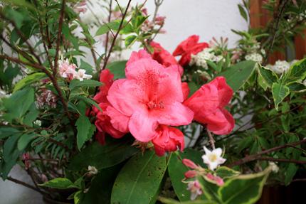 シャクナゲの花はいくつかが寄りそいあい細長い葉っぱに囲まれています