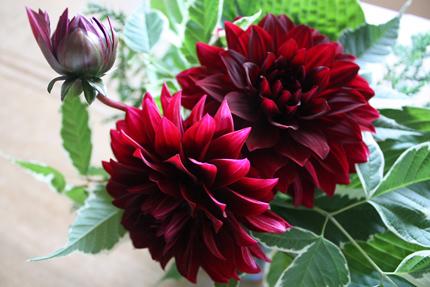 黒蝶ダリア 細い茎に大きな花をいくつも咲かせています