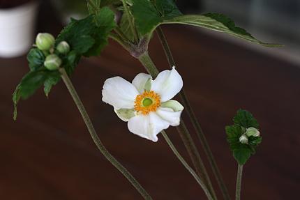 シュウメイギク(秋明菊)
