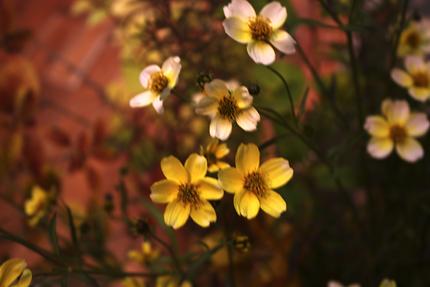 クリーム〜レモン色のグラデーションの小さな花