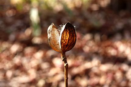 ウバユリの蒴果 種を散らした後の殻
