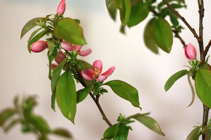 咲き始めは濃いピンク色ですが、だんだん淡くなっていきます