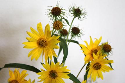 アキヒマワリは花びらを散らした後の姿も趣があります