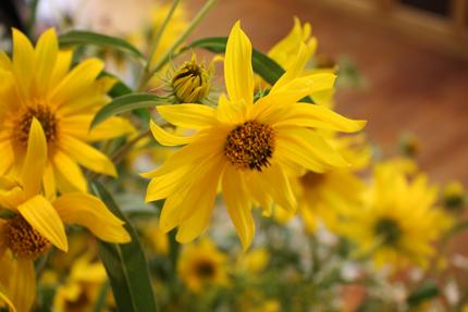 アキヒマワリの花 ちいさな太陽がいっぱい!といった目映さ