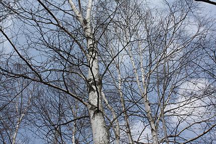 玄関脇のシラカバの木