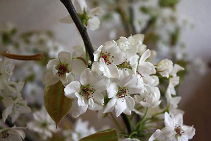 梨。ふんわり儚げな花弁と、つややかでしっかりした硬さの葉っぱ