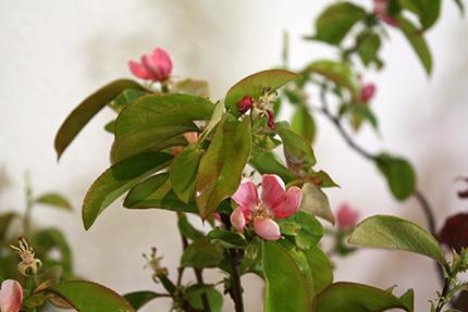 花梨 儚げな五弁の花びら