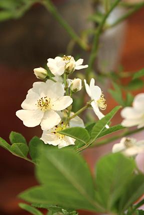 野バラの花。可憐です