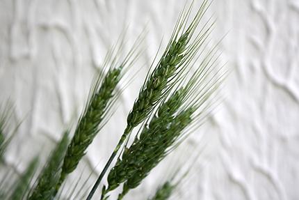 小麦。「のぎ」が凛々しいです