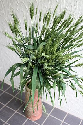 青々として美しい小麦