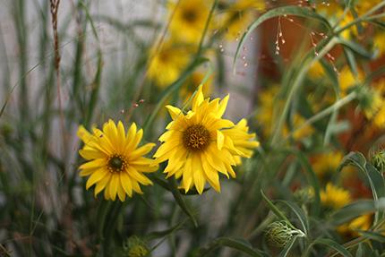 アキヒマワリは直径10センチくらいの花です