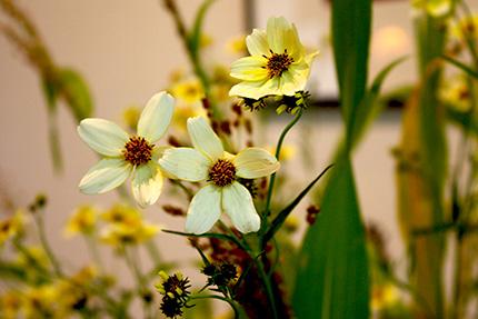 ウィンターコスモス 淡い黄色の可憐な花