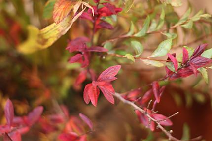 紅く燃えるように色づいたコデマリの葉