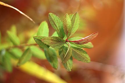 緑から紅へ、ほのかに色づいたコデマリの葉