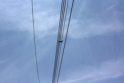 カッコー♪ 電線にとまっています!