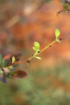 茶色の葉の間から、柔らかな緑が真っ直ぐに伸びています