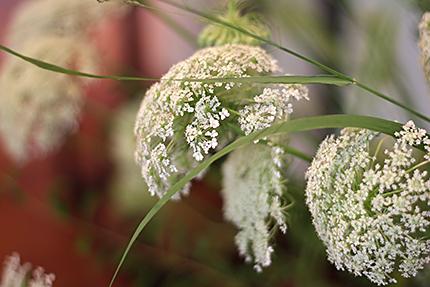 ノラニンジンはいわゆるレースフラワーのことです。 咲きはじめのふわふわな状態。