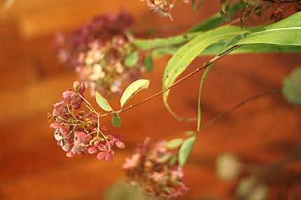 ミナヅキ。テッポウアジサイなどとも呼ばれています