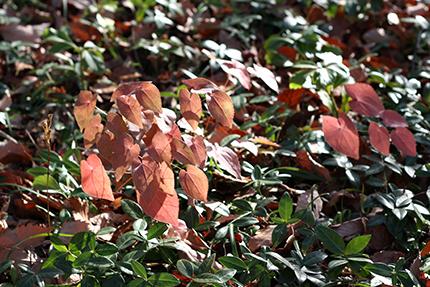 うつくしい草紅葉! イカリソウです