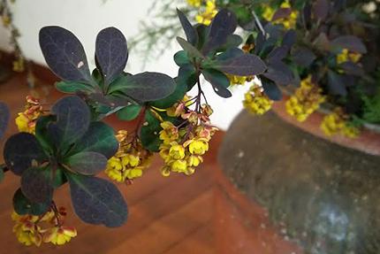 渋い色合いの葉っぱと鮮やかな花色のコントラストが美しいメギ