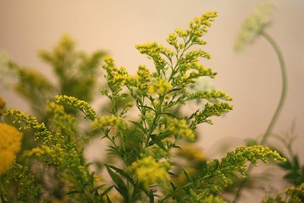 ソリダコ 咲ききる前の佇まいが添え花として映えます