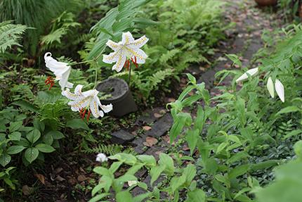 玄関の脇の小さな森では、ヤマユリが次々と咲いています