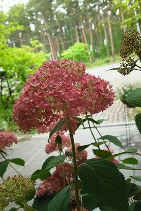 アナベル(西洋アジサイ)の鉢植。6月半ばに近所のガーデンで求めました