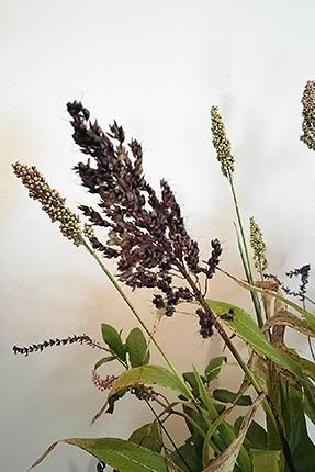 黒穂と白穂のタカキビ