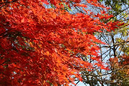 庭の紅葉。燃えるよう