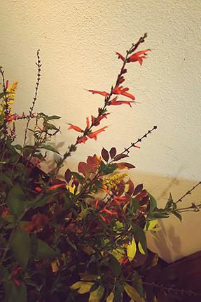 パイナップルセージの真っ赤な花。その名の通り、ほのかにパイナップルの香りがします