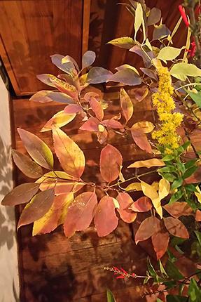 日の当り加減で、様々な色あいが楽しいレンギョウの紅葉