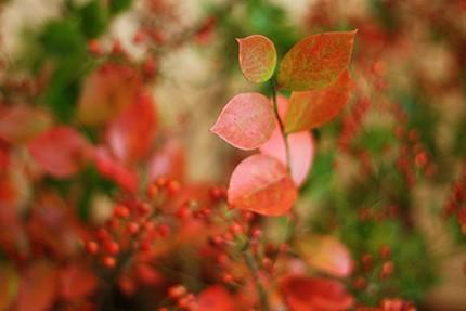 ブルーベリーはつややかな赤に紅葉します