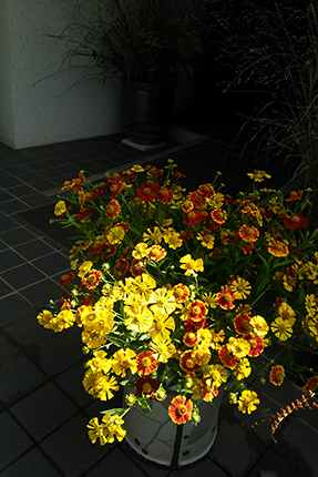 前の週のお花、メキシカンハットを切りつめて小さくまとめました。夏の名残。
